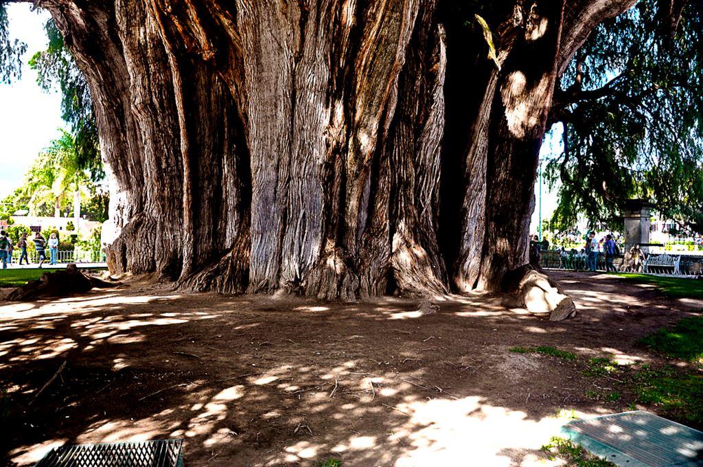 El Gigante, a árvore de Santa María del Tule