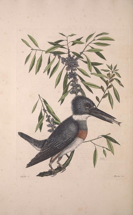 Color illustration of a belted kingfisher with a fish in its beak